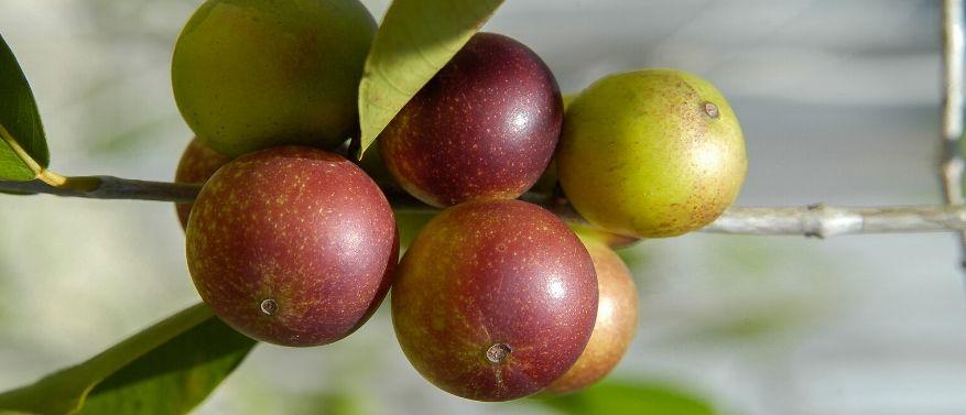 Camu Camu - Herkunft und Anwendung des neuen Superfoods