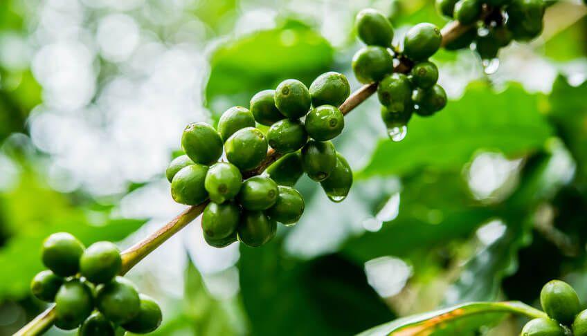 Grüner Kaffee - Was ist das?