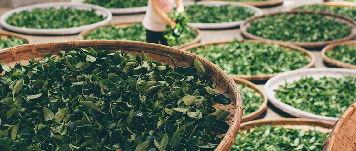 Buying Green Tea Extract