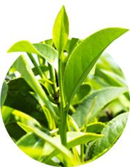 Grüner Tee Inhaltstoff für mehr Konzentration