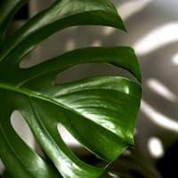 Bueropflanze-Philodendron