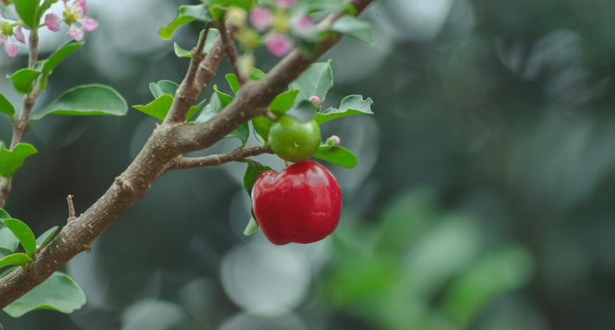 Acerola enthält viel Vitamin C